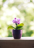 Mini orchid Royalty Free Stock Image