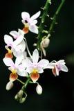 Mini Orchid sbocciante fotografia stock