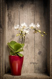 Mini-orchidee Lizenzfreies Stockfoto