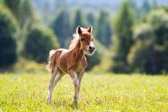 Mini paard Royalty-vrije Stock Foto's