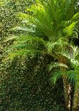 Mini palm tree background. Background of green leaves on wall outlined by mini palm trees on a sunny Stock Photo