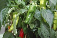 Mini Pepper gewachsen an im Blumentopf lizenzfreie stockfotografie