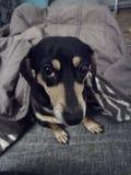 Mini perro basset cubierto en manta imagen de archivo