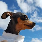 Mini perro del pinscher fotos de archivo libres de regalías