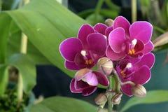 Mini phalaenopsis d'Orchide Photographie stock