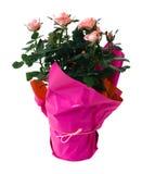 Mini pianta isolata della Rosa Fotografia Stock Libera da Diritti
