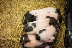 The mini pig family is together,. They play together, sleep together and eat together on the straw in the iron stall Royalty Free Stock Photos