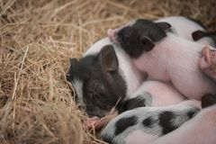 The mini pig family is together,. They play together, sleep together and eat together on the straw in the iron stall Stock Photos