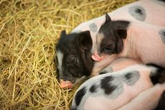 The mini pig family is together,. They play together, sleep together and eat together on the straw in the iron stall Royalty Free Stock Image
