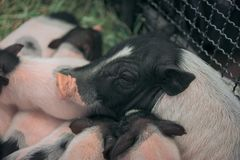 The mini pig family is together,. They play together, sleep together and eat together on the straw in the iron stall Royalty Free Stock Photography