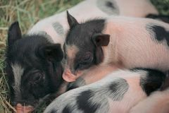 The mini pig family is together,. They play together, sleep together and eat together on the straw in the iron stall Royalty Free Stock Photo