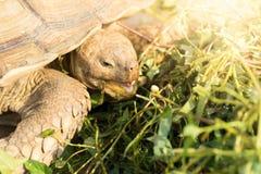 A Sulcata turtle stock photography