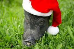 Mini pig in the hat of Santa Claus . 2019 is the year of the earth pig. Funny mini piggy walking on the grass royalty free stock image