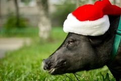Mini pig in the hat of Santa Claus . 2019 is the year of the earth pig. Funny mini piggy walking on the grass stock photo