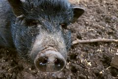 Mini pig in mud. Looking to the camera, her name is bertha royalty free stock photography