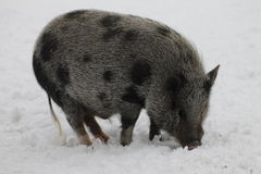 Mini pig. Nice minipig at Langedrag nature park, hallingdal, norway Stock Photo