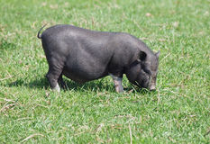 Mini pig on pasture Royalty Free Stock Photos
