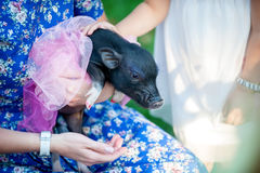 Mini pig pet with  girls. Wearing beautiful dresses Stock Images