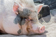 Mini pig Royalty Free Stock Images