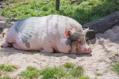 Mini pig Royalty Free Stock Image