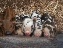 Mini Piglets Foto de archivo libre de regalías