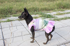 Mini pincher dog in a dress stock photography