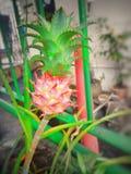 Mini Pineapple immagini stock libere da diritti