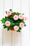 Mini pink Rosa in a pot Royalty Free Stock Photo