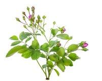 Mini pink rose bush isolated royalty free stock photo