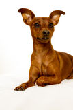 Mini Pinscher. An adorable brown miniatural pinscher stock images