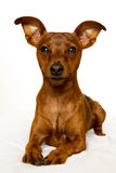 Mini Pinscher. An adorable brown miniatural pinscher royalty free stock photo
