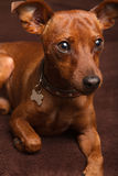 Mini Pinscher. An adorable red mini pinscher royalty free stock images