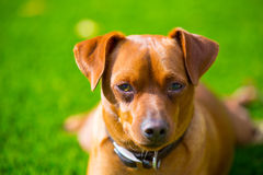 Mini pinscher brown dog portrait laying in lawn Royalty Free Stock Photos