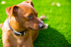 Mini pinscher brown dog portrait laying in lawn Stock Images