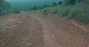 Mini- pinscherhund i berg stock video