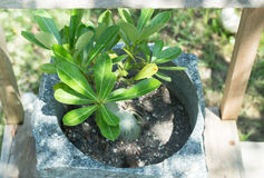 Mini plant in stone pot Royalty Free Stock Photo