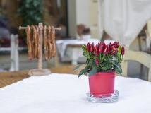 Mini planta da pimenta vermelha na tabela europeia do café imagem de stock royalty free