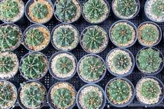 Mini planta do cacto no potenciômetro preto Imagem de Stock