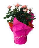 Mini planta isolada de Rosa Fotografia de Stock Royalty Free