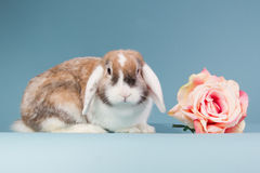 Mini-podar o coelho com aumentou fotos de stock