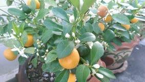 Mini pomarańcze Obrazy Royalty Free