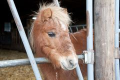 Mini poney Image libre de droits