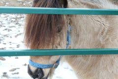 Mini poney derrière la porte photos libres de droits