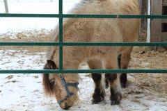 Mini- ponny bak porten Arkivbilder