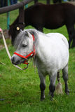Mini pony. A white mini pony - American mini horse breed Royalty Free Stock Photos