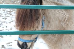 Mini pony behind gate royalty free stock photos
