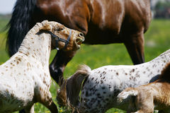 Mini-pony stallion with his herd. In field Royalty Free Stock Image