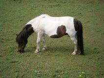 Mini pony. View of grazing mini pony Royalty Free Stock Photography