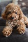 Mini Poodle Adorable Lizenzfreie Stockbilder
