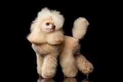 Mini Poodle Dog rosso sul nero fotografia stock libera da diritti